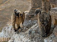 https://de.wikipedia.org/wiki/Geier_(Vogel)#/media/File:Vultures_in_the_nest,_Orchha,_MP,_India_edit.jpg